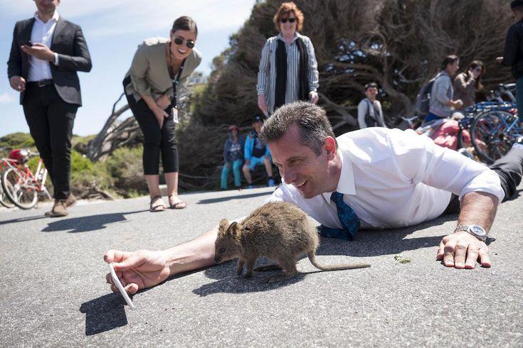 El ministro de turismo australiano Paul Papalia mientras busca sacarse una selfie con un quokka, en Rottnest Island, en Australia (EPA/Tony McDonough/ANSA)