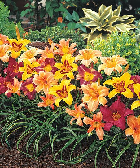 Enjoy a lush burst of fresh color in your garden with these hummingbird-loving daylilies that feature clustered blooms, rich hues and hearty stems. Note: This item ships March 2nd through April 27th in accordance to your location's hardiness zone. Please refer to the alternate image to determine your region's shipping date. Shipping dates may vary slightly due to weather conditions.