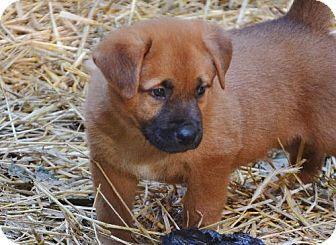 Hockessin, DE - German Shepherd Dog/Chow Chow Mix. Meet Sampson, a puppy for adoption. http://www.adoptapet.com/pet/11117061-hockessin-delaware-german-shepherd-dog-mix