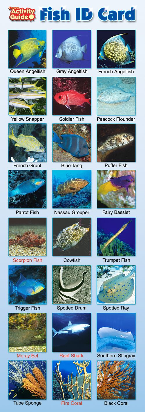 Cayman Islands Fish ID Card | Cayman Fish Identification Pictures, Names, Species