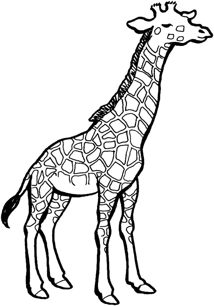 Giraffe With Great Neck