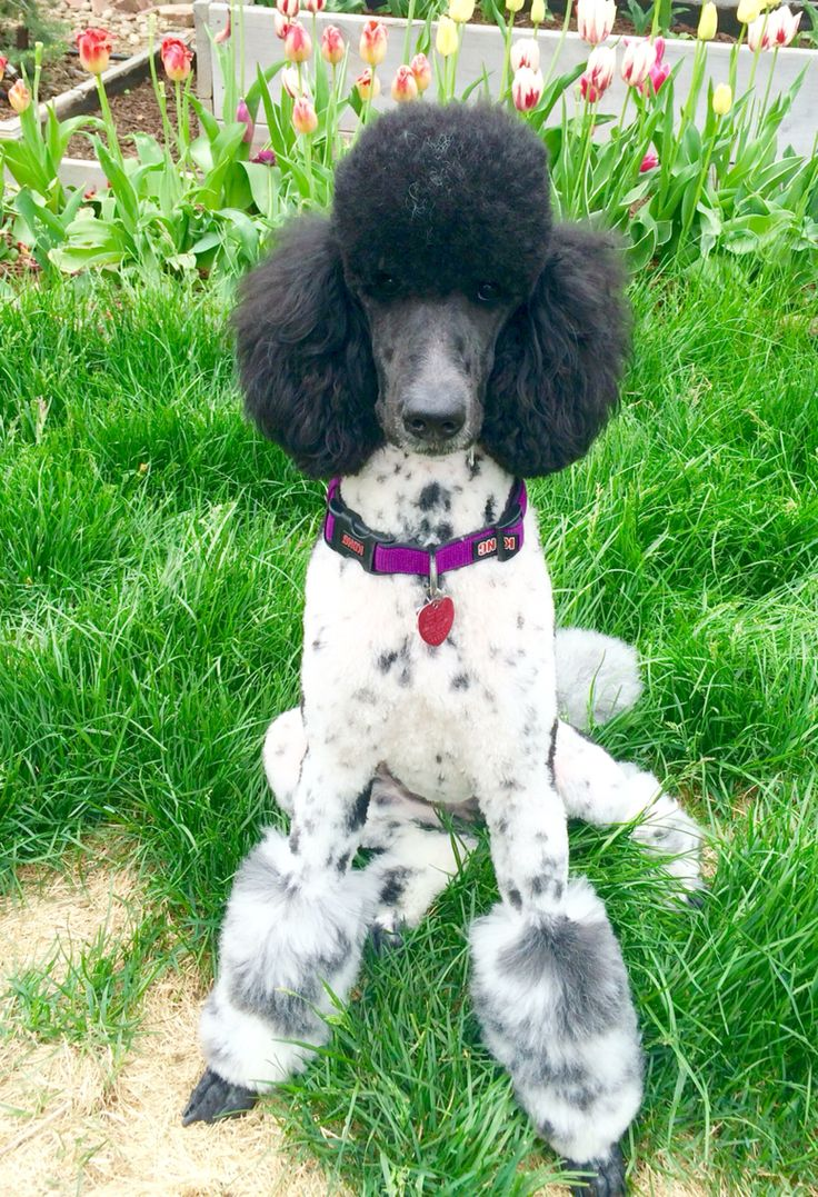 Standard poodle haircuts or of unless soft haircuts standard poodle - Standard Poodle Miami Cut