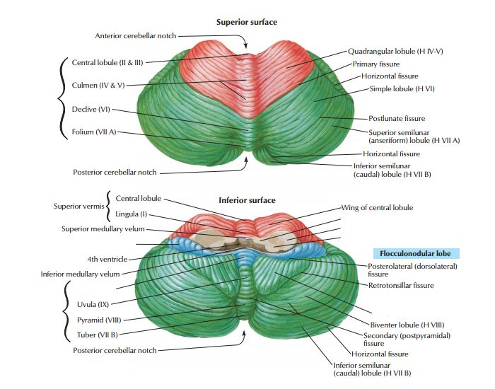 This is a quiz called Cerebellum anatomy and was created by member UML_PT