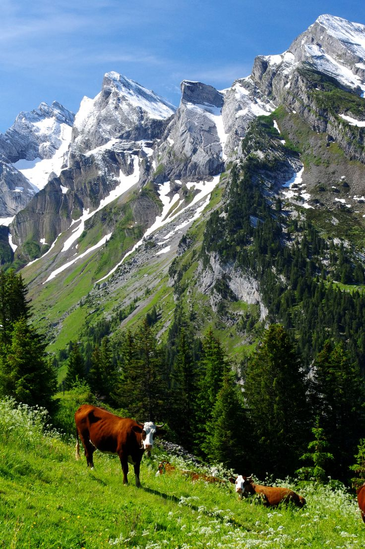 The Montaphon cows in the Haute-Savoie region of the French Alps.