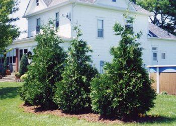 Green Rocket Hybrid Cedar Tree - Transplant Cedar Trees for Sale | Advanced Tree Technology