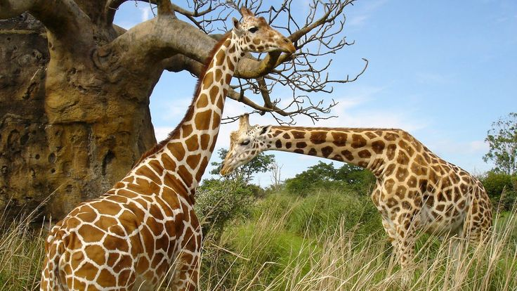 Giraffe Wallpapers HD 1024×768 Giraffe Images Wallpapers (41 Wallpapers) | Adorable Wallpapers