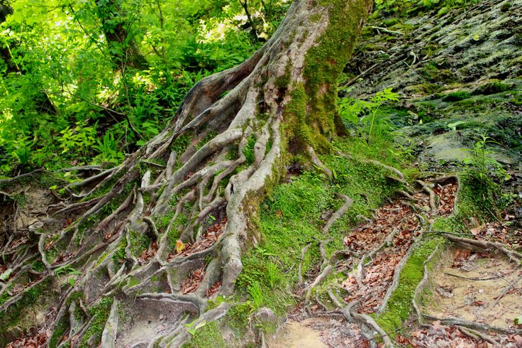 Well rooted, Splitvice National park, Croatia.