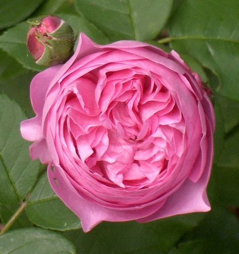 Rosa 'Louise Odier' , 1851