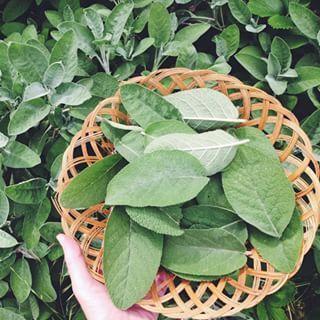 Salvia. | 16 Plantas para sembrar y cocinar en casa