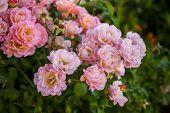 Close-up Of Garden Rose