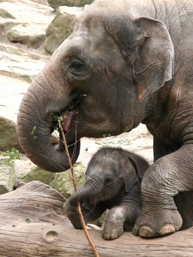 Baby elephant shares some food with it's mama.