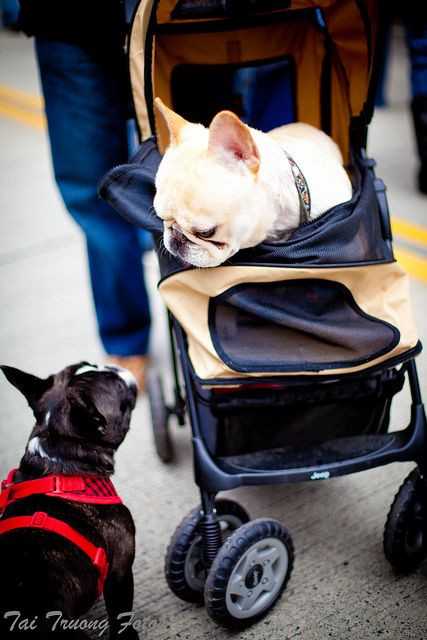 """""""Oh you're still doing that whole walking thing?"""" Obnoxious and Handsome French Bulldogs."""