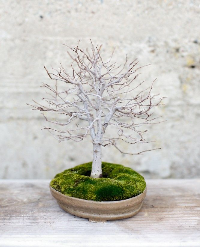 Flower Garden For Dummies: 28 Best Images About Bonsai On Pinterest
