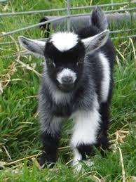Nigerian Dwarf Goats - Google Search                                                                                                                                                                                 More