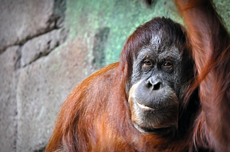 Orangutang at Furuvik Zoo