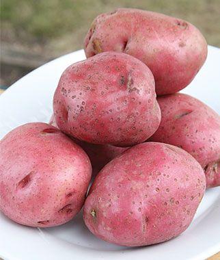 Potato, Red Lasoda  $19.95 for 10 tubers