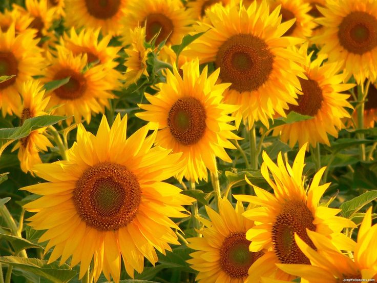 Sunflowers - tried to grow last year, but the squirrels dug them up and ate them - will plant them on my deck this year