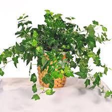 Resultado de imagen para english ivy plant