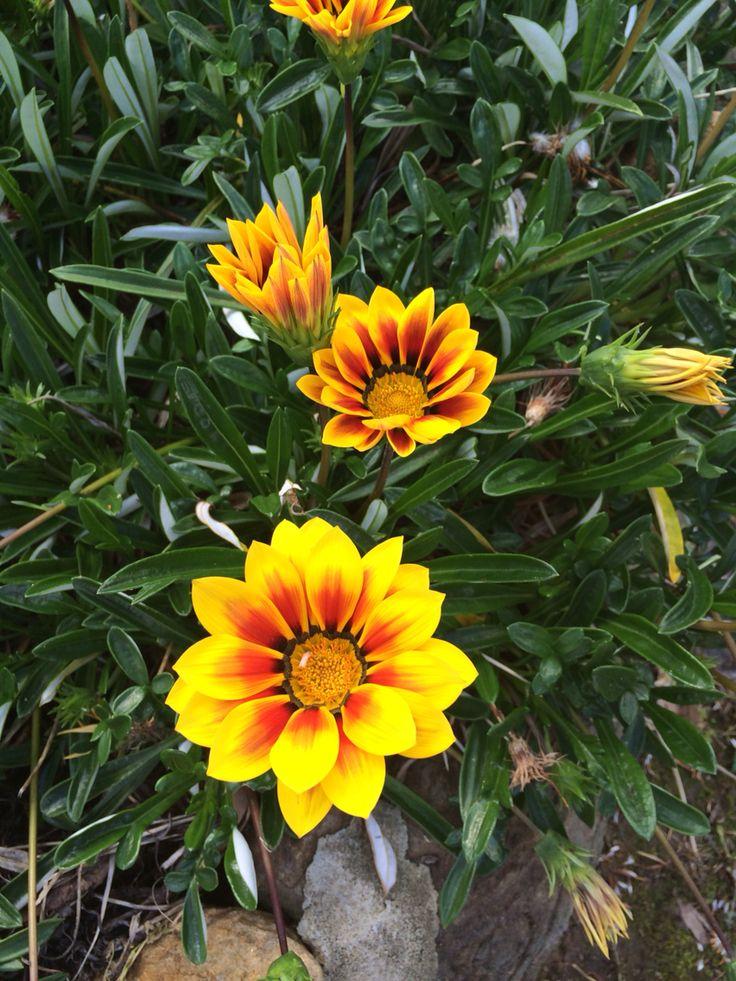 Gazania flower.