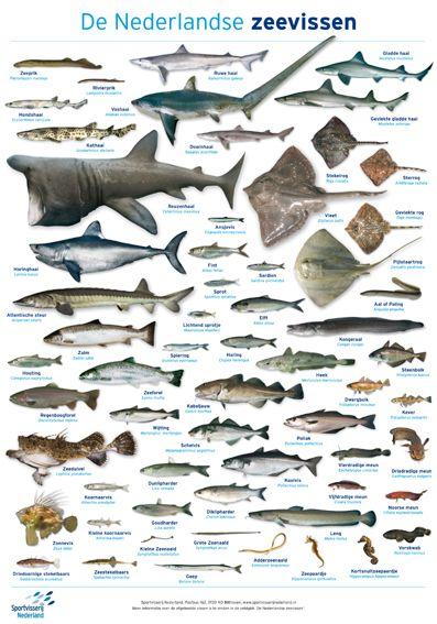 Zoekkaart Nederlandse zeevissen