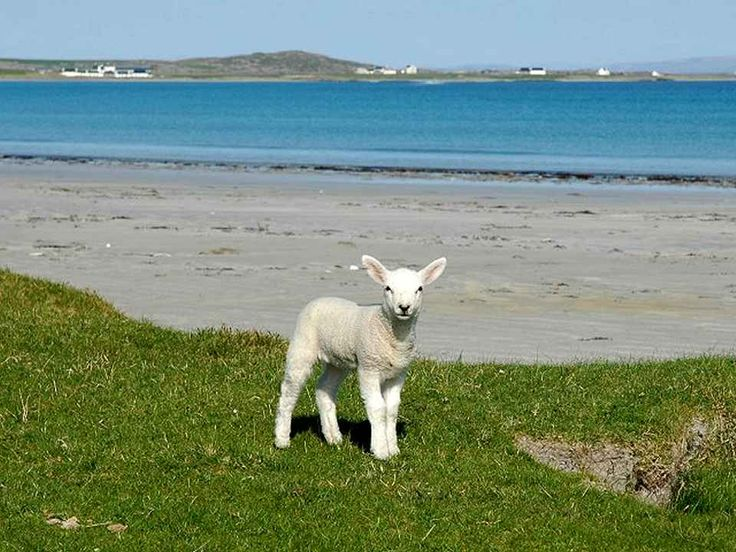 A Lamb on the Scottish Isle of Tiree