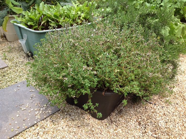 Fresh Thyme grown from our GreenSmart pots!