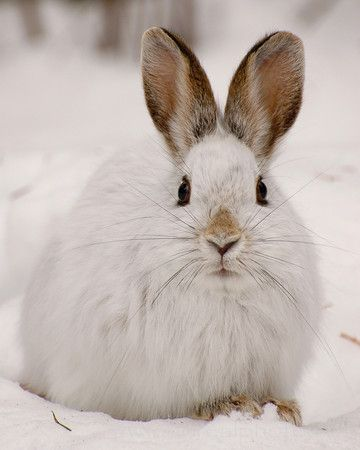 Snowshoe Hare is a very cute and beautiful animal, check out here all facts about Snowshoe Hare with latest photographs-images.