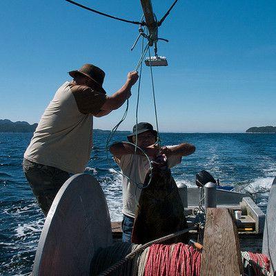 Уловы какого морского животного значительно увеличились с 1970-х годов? омара! В 1990-е годы популяция трески (как и других крупных рыб) была уничтожена рыболовным флотом Атлантики. Когда в воде начался недостаток хищников, великолепно начали развиваться их жертвы, в том числе и омары, уловы которых утроились по сравнению с количеством уловов в 1970-х годах.
