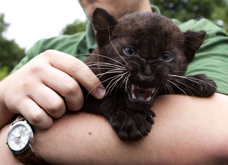 Baby panthers can be tough and aww at the same time. - Imgur