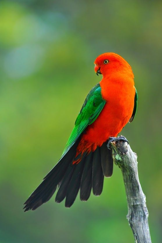 Parrot 105 105 best Austra...
