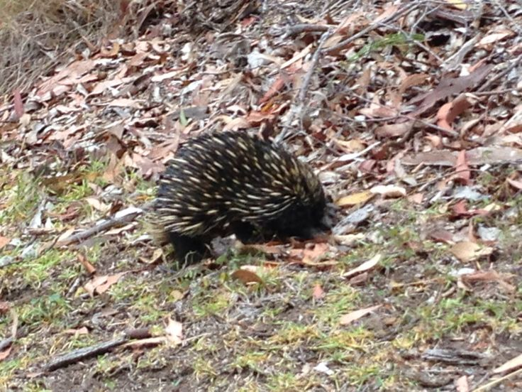 Cute ant eater (echidna) at Murray's Beach