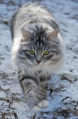 Young Siberian cat -- looks so much like our Siberian, but our baby has blue eyes