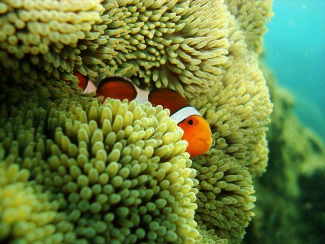 clown fish 小丑魚, 墾丁後壁湖