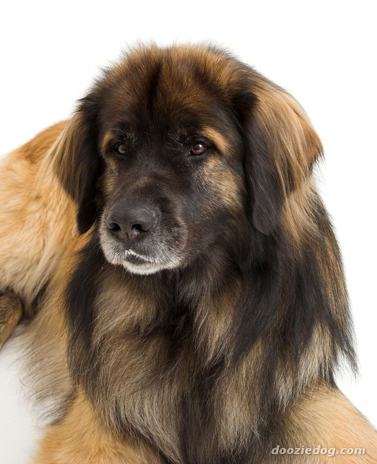 33 besten leonberger dog breed bilder auf pinterest hunde hunderassen und riesige hunde. Black Bedroom Furniture Sets. Home Design Ideas