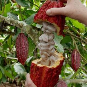 Seven Sweet Facts About How Chocolate Is Made