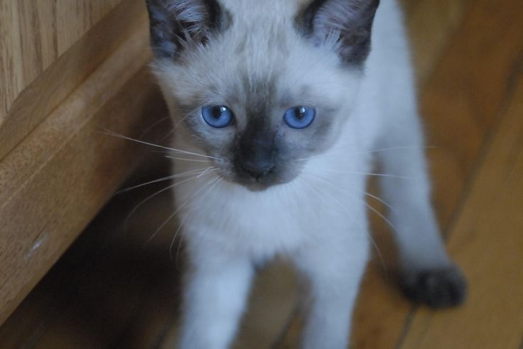 Adorable Siamese Kittens For Sale Available Now West Chester Pa Bjltrn Aol Siamese Kittens Kitten Adoption Cats And Kittens