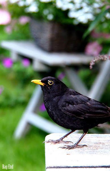 Blackbird / Mustarastas