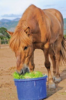 Can Fodder be Included in a Horse's Feeding Program? - TheHorse.com | Fodder is plant material grown hydroponically and used as livestock feed. Find out if it's good for horses.