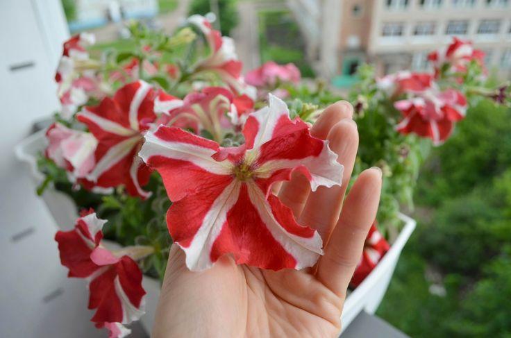 ...за окном то дождь то ветер и температура не выше 20 градусов тепла, а для растений самое прекрасное время для цветение