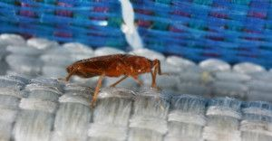 Bed bugs are flattened for hiding in cracks and crevices.  This bed bug was hiding along the welting on the edge of a mattress.