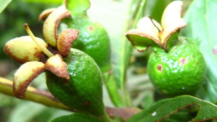 كيفية زراعة الجوافة In 2020 Guava Fruit Growing