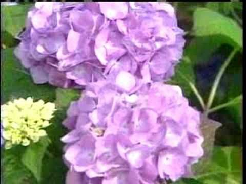 How to care for hydrangeas (because our backyard is full of them!!)