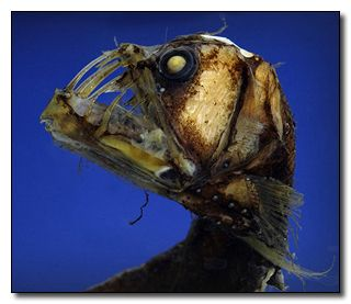 """""""We're pretty sure viper fish are the reason we developed legs and got the hell out of the ocean."""""""