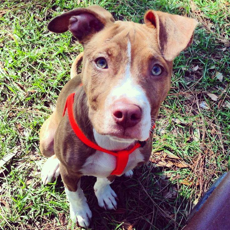 Rednose Brindle Pitbull Puppy With Green Eyes