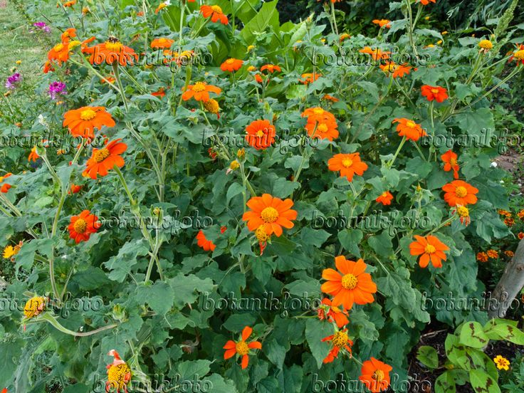 Image Mexican sunflower (Tithonia rotundifolia) - 463041 - Images ...
