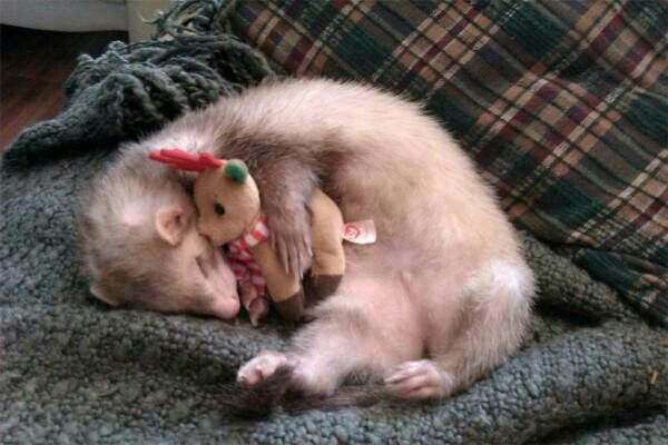 how to make a ferret go to sleep