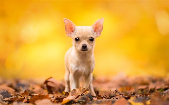 Download wallpapers chihuahua, small dogs, bokeh, forest, autumn, companion dog, smallest dog