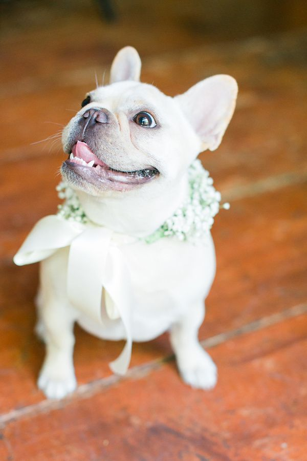 French bulldog ring bearer - photo by Rachel Rowland http://ruffledblog.com/chic-bohemian-wedding-at-rustic-acres-farm #frenchbulldog