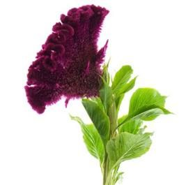 Mayesh Wholesale Florists - Coxcomb Burgundy