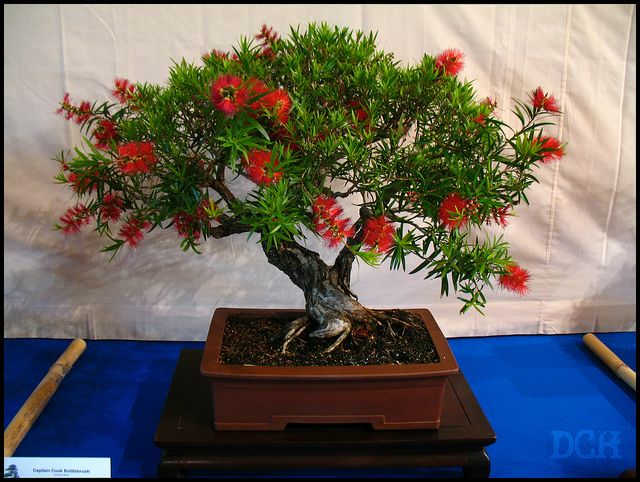 Native Australian Bottlebrush bonsai, multi trunk style.